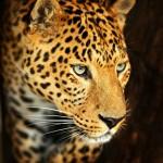 12-ФЖ-0010 леопард черный фон