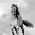 12-ФЖ-0011 лошадь черно-белый постер