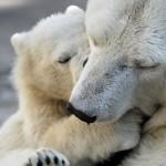 12-ФЖ-0017 белые медведи