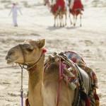 12-ФЖ-0017 верблюд