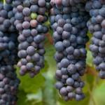 12-ФК-0013 виноград синий