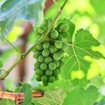 12-ФК-0021 виноград зеленый