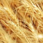 12-ФПр-0060 пшеница