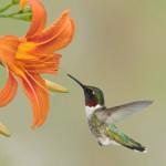 12-ФПт-0006 колибри и лилия