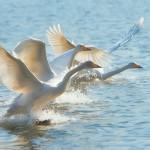 12-ФПт-0009 гуси взлетают с воды