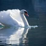 12-ФПт-0012 белый лебедь