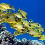 12-ФР-0001 рыбки тропические желтые