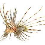 12-ФР-0006 тропическая рыба-лев