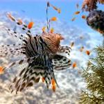 12-ФР-009 рыба-лев Красное море