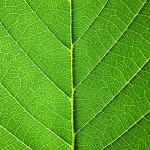 12-ФФ-0002 зеленый лист