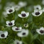 12-ФЦ-0002 цветы лапландии