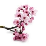 12-ФЦ-0006 цветущая ветка вишни
