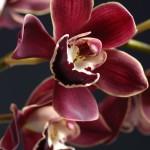 12-ФЦ-0008 орхидея на черном