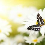 12-ФЦ-0010 бабочка на ромашке