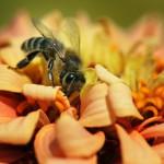 12-ФЦ-0023 пчелка на цветке