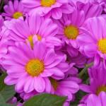 12-ФЦ-0025 хризантемы розовые