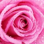 12-ФЦ-0027 розовая роза