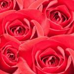 12-ФЦ-0028 красные розы