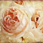 12-ФЦ-0029 кремовая роза на винтажном фоне