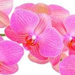 12-ФЦ-0030 розовая орхидея на белом